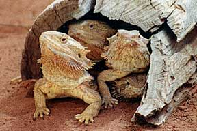 Alice Springs Reptile Centre - Kingaroy Accommodation